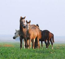 Herd of arabian horses by Tamara Didenko