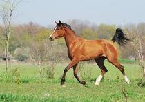 Arabian horse von Tamara Didenko