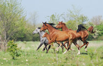 Herd of arabian horses by Tamara Didenko