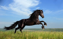 Friesian horse running by Tamara Didenko