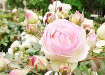 pale rose von karumen