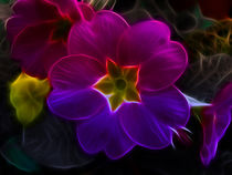 Primula Rainbow by Fiona Messenger