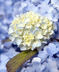 Cream in the Blues von Fiona Messenger