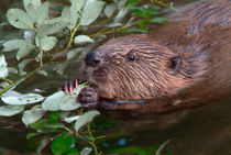 Beaver feeding on leaves von Intensivelight Panorama-Edition