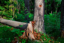 Woodpecker's tree by Intensivelight Panorama-Edition