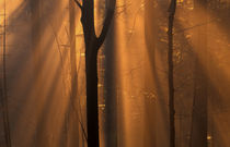 Misty autumn forest von Intensivelight Panorama-Edition