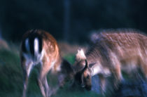 Fighting fallow deer von Intensivelight Panorama-Edition