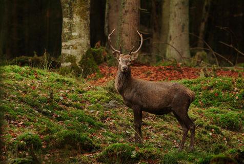 Deer1004-79-4rm