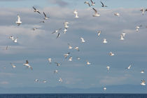 Flying seagulls von Intensivelight Panorama-Edition