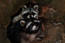 Two raccoons by Intensivelight Panorama-Edition