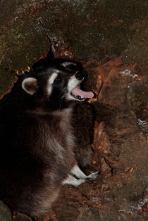 Yawning raccoon von Intensivelight Panorama-Edition