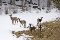 Roe deer in winter von Intensivelight Panorama-Edition