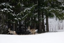 Fleeing roe deer von Intensivelight Panorama-Edition