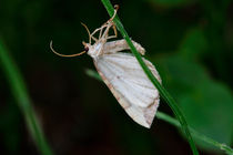 White moth by Intensivelight Panorama-Edition
