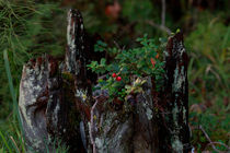 Lingonberries growing on deadwood by Intensivelight Panorama-Edition