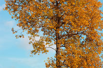 Autumn birch von Intensivelight Panorama-Edition