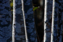 Speckled alder trunks von Intensivelight Panorama-Edition