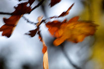 Autumn colored oak leaves von Intensivelight Panorama-Edition