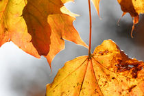 Maple leaves in autumn von Intensivelight Panorama-Edition