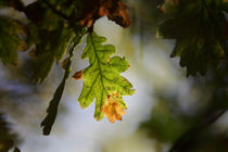 Autumn oak leaf by Intensivelight Panorama-Edition