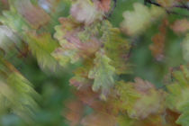 Oak leaves moving in the wind von Intensivelight Panorama-Edition