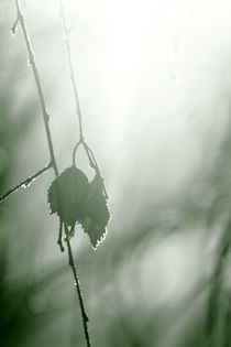 Frost on withering leaves von Intensivelight Panorama-Edition