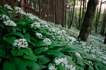 Flowering ramsons von Intensivelight Panorama-Edition