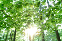 Sun shining through leaves by Intensivelight Panorama-Edition