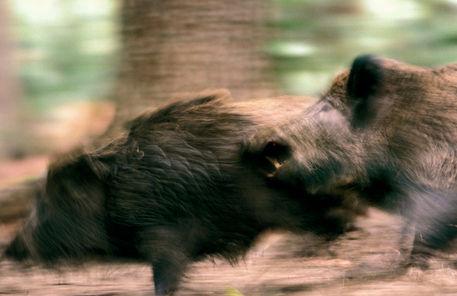 Beissende-wildschweine