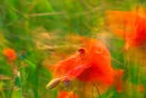 Poppies dancing in the wind von Intensivelight Panorama-Edition