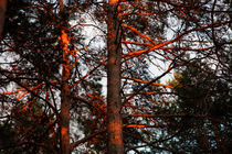 Pine trees in evening light by Intensivelight Panorama-Edition