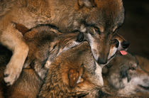 Wolf pack biting each others muzzles von Intensivelight Panorama-Edition