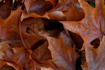 Cluster of brown Maple leaves by Intensivelight Panorama-Edition