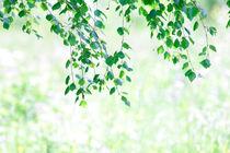 Birch leaves in summer von Intensivelight Panorama-Edition