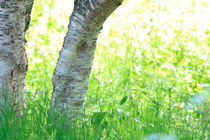 Birch tree on a meadow von Intensivelight Panorama-Edition