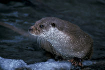 Water drops are glistening on a wet otter von Intensivelight Panorama-Edition