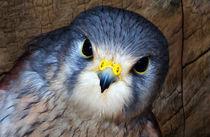 Kestrel in close-up von Fiona Messenger
