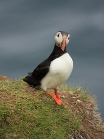 Puffin portrait by Andras Neiser