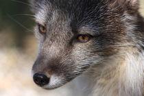 Arctic Fox portrait von Andras Neiser