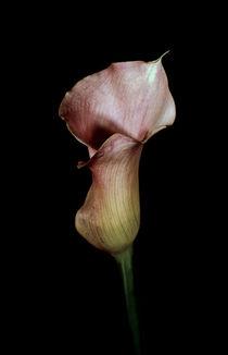 Calla lily by Leo Walton