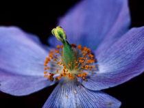 Purple tulip by Leo Walton