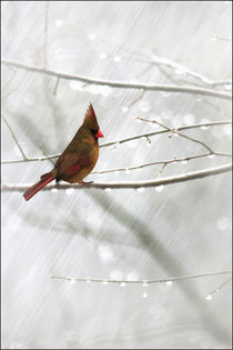 CARDINAL IN THE RAIN von tomyork