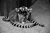 lemuren by gudrun  petersen