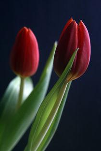 Tulpenfrühling by Heidrun Lutz