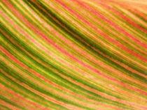 Gestreiftes, buntes Blatt des Blumenrohrs(colorful leaf of canna indica,tropicanna) von Dagmar Laimgruber