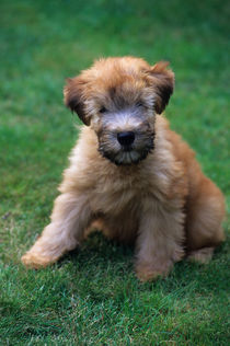 USA, 10 WEEK OLD SOFT COATED WHEATEN TERRIER, DOG (PUPPY) by Wolfgang Kaehler