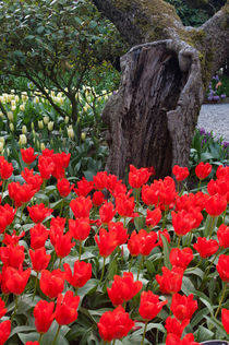 Red tulips in front of old tree at the Roozengaarde display garden in the Skagit Valley, Washington State, USA by Wolfgang Kaehler