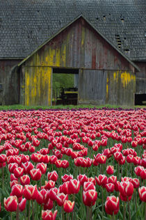 A tulip field in spring with an old barn in background in the Skagit Valley, Washington State, USA by Wolfgang Kaehler