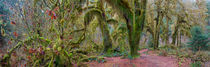 Panorama photo (44 x 14 inches) of maple trees covered with mosses at the Hall of Mosses in the Hoh River rainforest, Olympic National Park, Washington State, United States by Wolfgang Kaehler