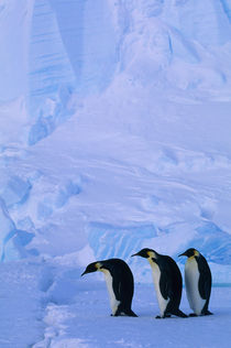 ANTARCTICA, RIISER-LARSEN ICE SHELF,THREE EMPEROR PENGUINS ON FAST ICE, ICEBERG BACKGROUND by Wolfgang Kaehler